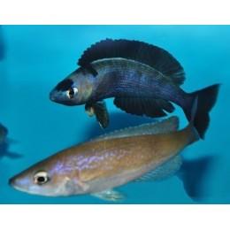 cyprichromis microlepidotus kiriza