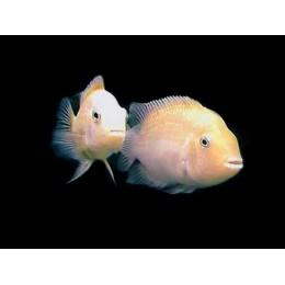 Cichlasoma Nigrofasciata Albino