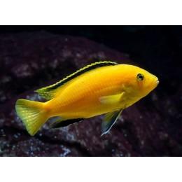 Labidochromis caeruleus Jaune 6-8 cm