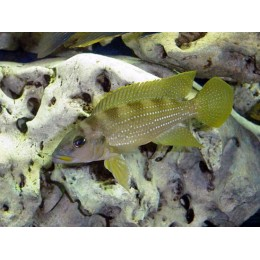 Neolamprologus tetracanthus gold