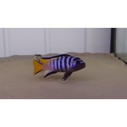 Pseudotropheus Elongatus Mpanga