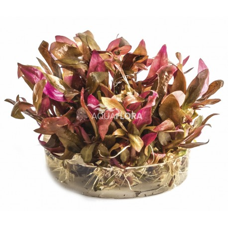 Alternanthera reineckii pink IN VITRO