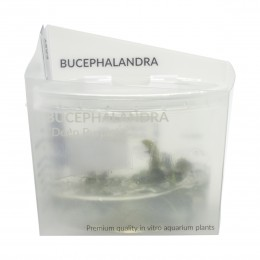 "Bucephelandra ""Deep Purple"" IN VITRO"