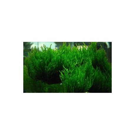Taxiphyllum spec Flame Flame moss