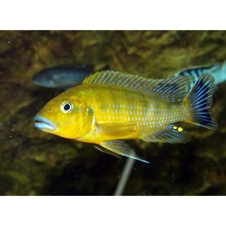 Pseudotropheus Williamsi Blue Lips