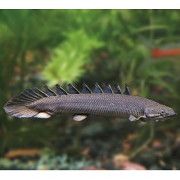 Pez Sierra 6-7 cm