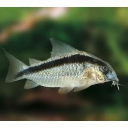 Corydora Arcuatus XL