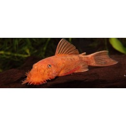 Ancistrus sp. Super Red 5-6 cm