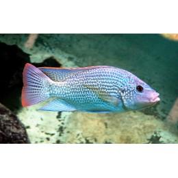 Oreochromis tanganyicae